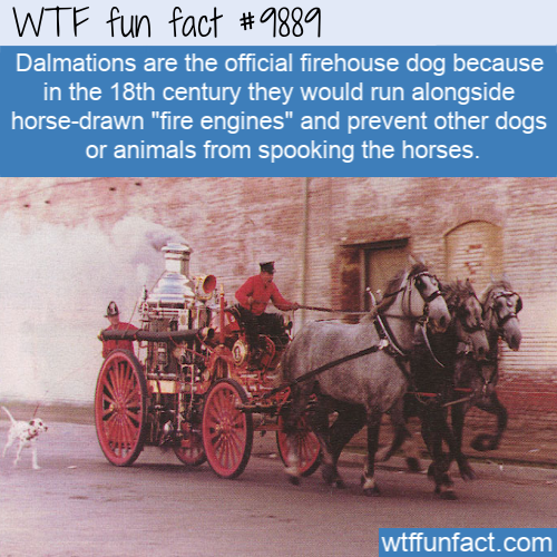fun animal fact dalmation fire dog