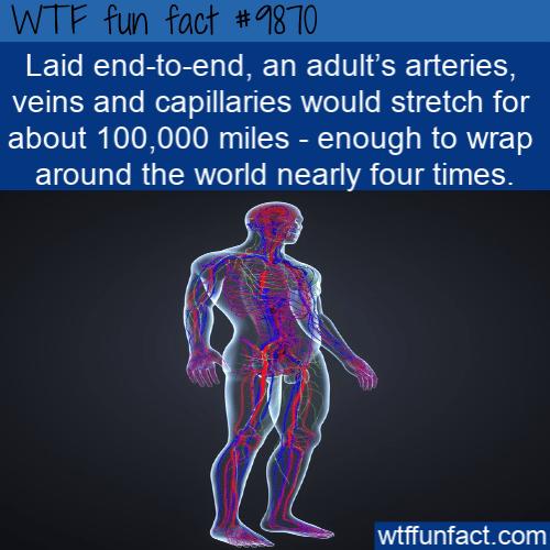 fun fact human body arteries length