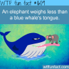 a blue whales tongue fact