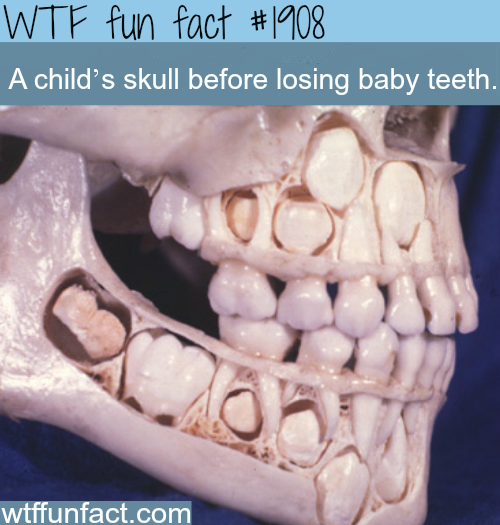 A child's skull before losing baby teeth - WTF fun facts
