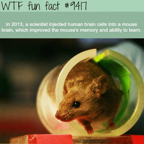 A mouse with human brain cells - WTF fun facts