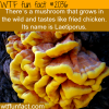 a mushroom that taste like fried chicken