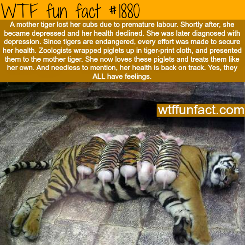 A tiger with it's baby pigs-WTF fun facts