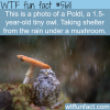 a tiny owl taking shelter under a mushroom wtf