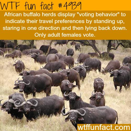 African Buffalo - WTF fun facts