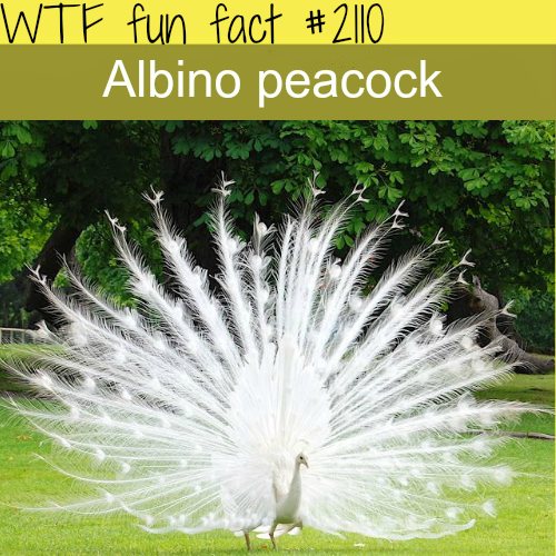 Albino Peacock pictures - WTF fun fact