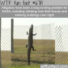 alligators can climb fences wtf fun fact