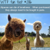 alpacas animales facts
