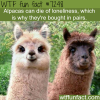 alpacas can die of loneliness wtf fun fact