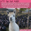 alpacas guarding turkey farms wtf fun facts