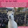 alpacas guarding turkey farms wtf fun facts