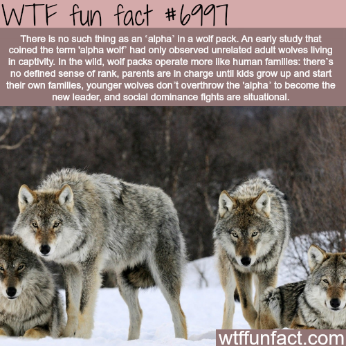 Alpha wolf - WTF fun fact