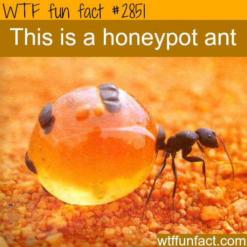 Amazing photograph of the honeypot ant -  WTF fun facts