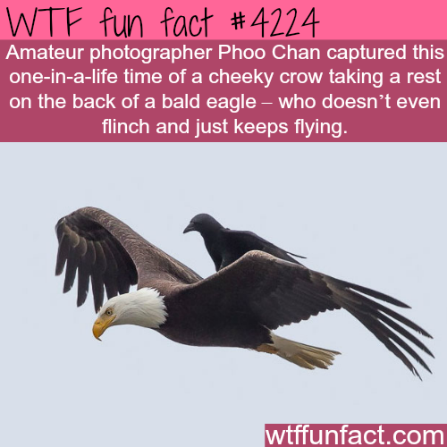 Amazing photographs of a crow taking a rest on the back o a bald eagle -  WTF fun facts