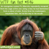 an orangutan fu manchu animals fact