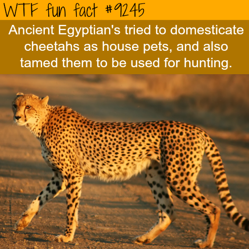 Ancient Egyptians tried to domesticate cheetahs - WTF fun fact