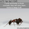 ants will carry their drunk comrades home wtf