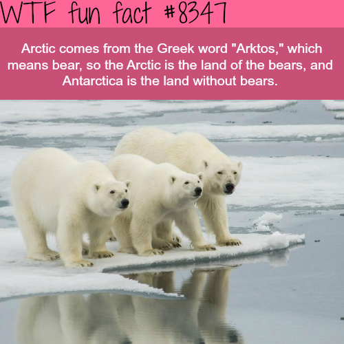 Arctic bears - WTF fun facts