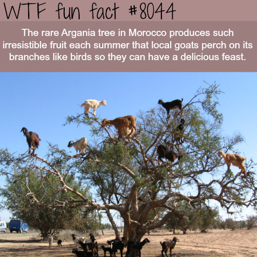 Argania tree - WTF fun fact