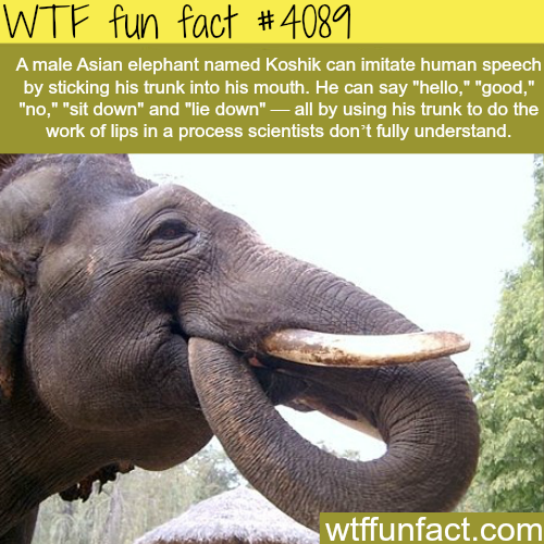 Asian elephant learned how to speak - WTF fun facts