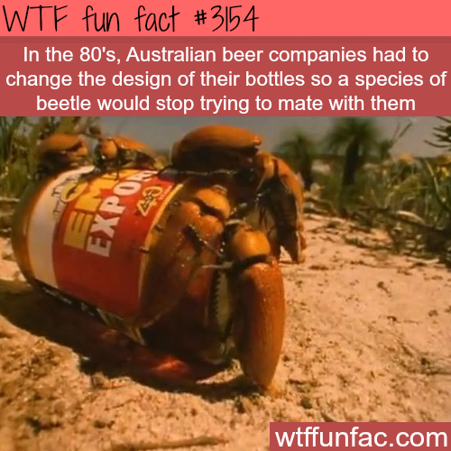 Australian beetles try to mate with a beer bottle -  WTF fun facts