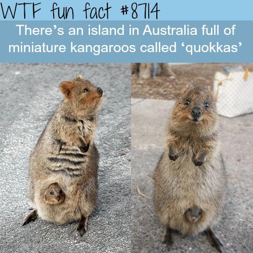 Australian island full of quokkas