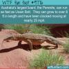 australias largest lizard the perentie can run