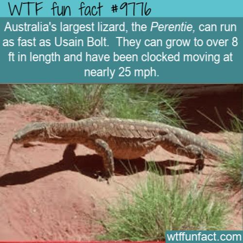 Australia's largest lizard