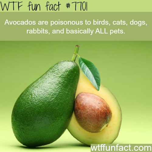 Avocados are poisonous to your pet - WTF FUN FACTS