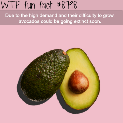 Avocados might go extinct soon - WTF fun facts