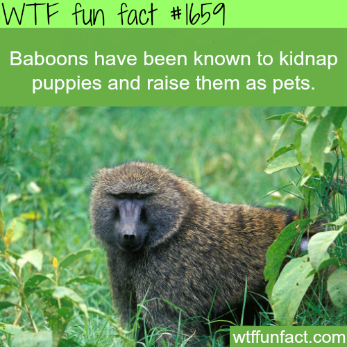Baboons facts - WTF fun facts