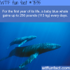 baby blue whales gain 250 pounds a day wtf fun