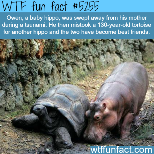 Baby hippo became friend with a tortoise - WTF fun facts