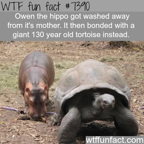 Baby hippo gets attached to a giant tortoise after he lost its mom - WTF fun facts