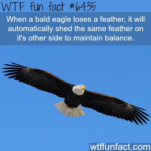 Bald eagle - WTF fun facts