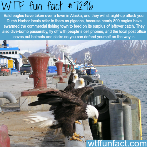 Bald eagles in Dutch Harbor