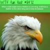 bald eagles wtf fun facts