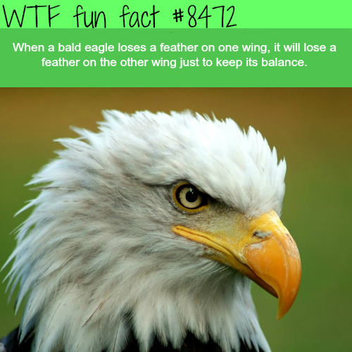 Bald eagles - WTF fun facts