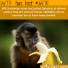 bananas and monkeys wtf fun facts