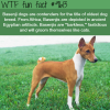 basenji dog breed wtf fun fact