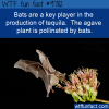 bats are a key player in the production of