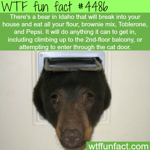 Bear in Idaho tries to get into a house through the cat door -   WTF fun facts