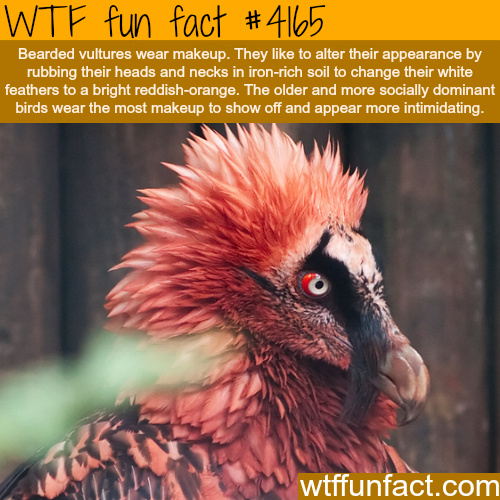 Bearded Vultures -  WTF fun facts