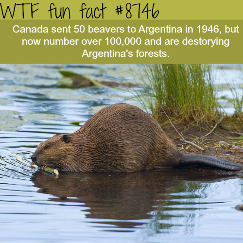 Beavers are ruining Argentina's forests - WTF fun facts