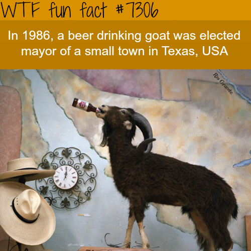 Beer drinking goat becomes a mayor - WTF fun fact