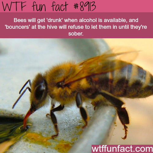 Bees can get drunk - WTF fun facts