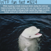 beluga whale mimics human speech wtf fun facts