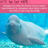 belugas mimicking human voice wtf fun facts