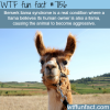 berserk llama syndrome wtf fun fact
