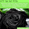 black roses in turkey wtf fun facts